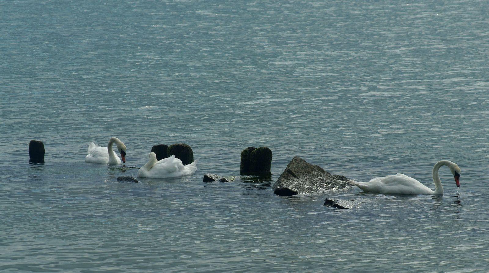 les cygnes sauvages de la mer baltique