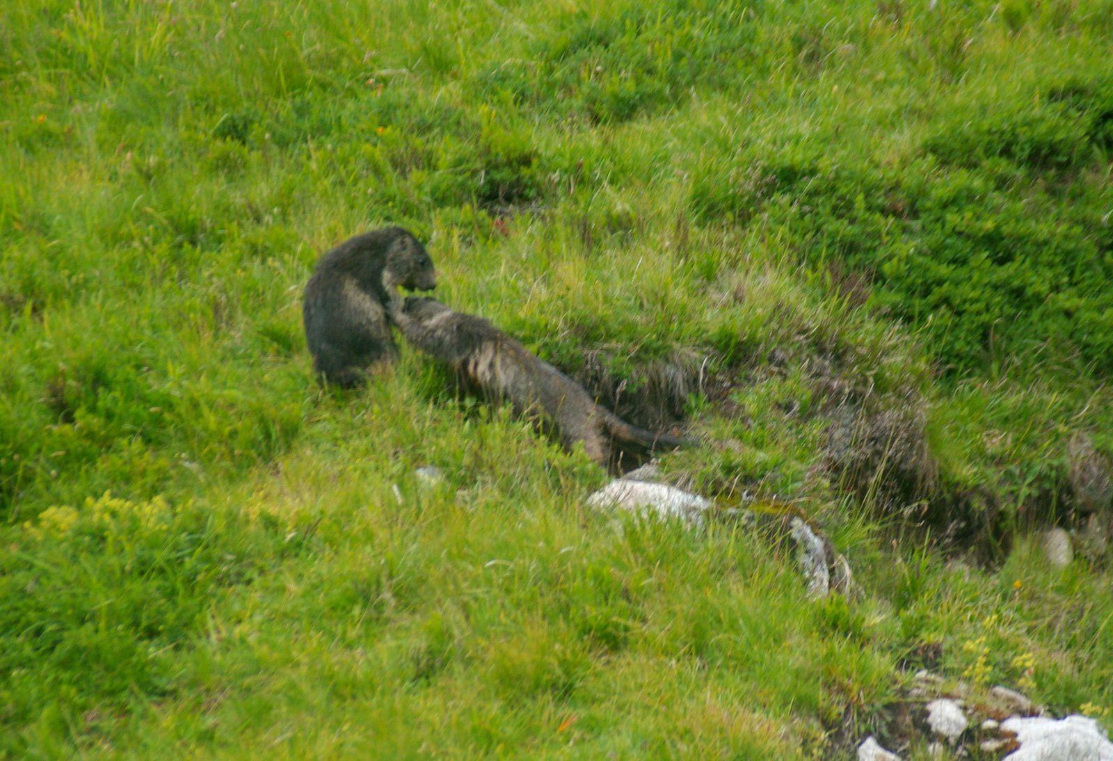 au petit matin deux marmottes qui se font des mamours !!! dommage elles sont un peu floues !!!
