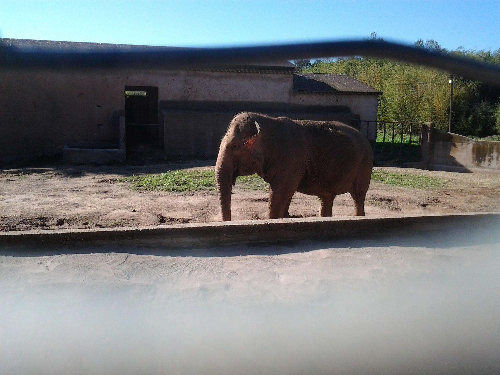 Elephant du zoo de Fréjus...enclos minuscule, pas d'eau et pas de fourage...octobre 2014 Photo© Bruno Ricard