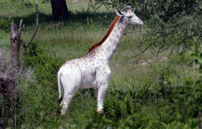 Tanzanie: Une girafe blanche rarissime naît dans un parc national