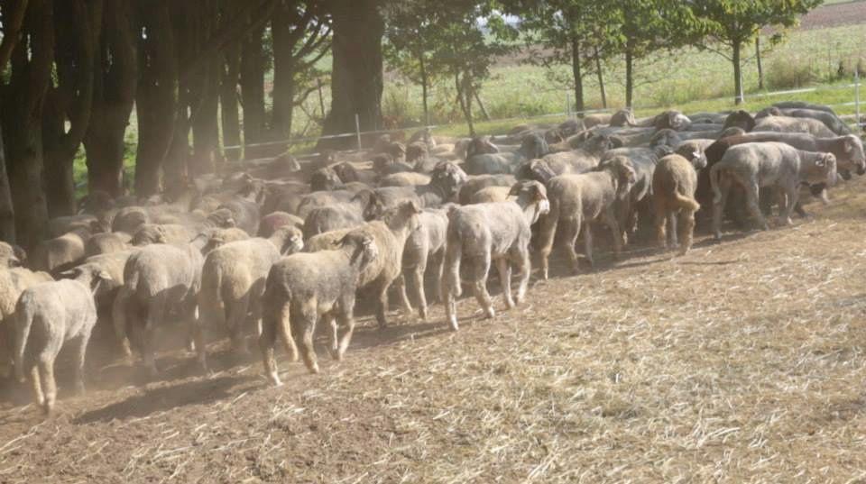 Fondation Brigitte Bardot : 47 moutons définitivement sauvés !
