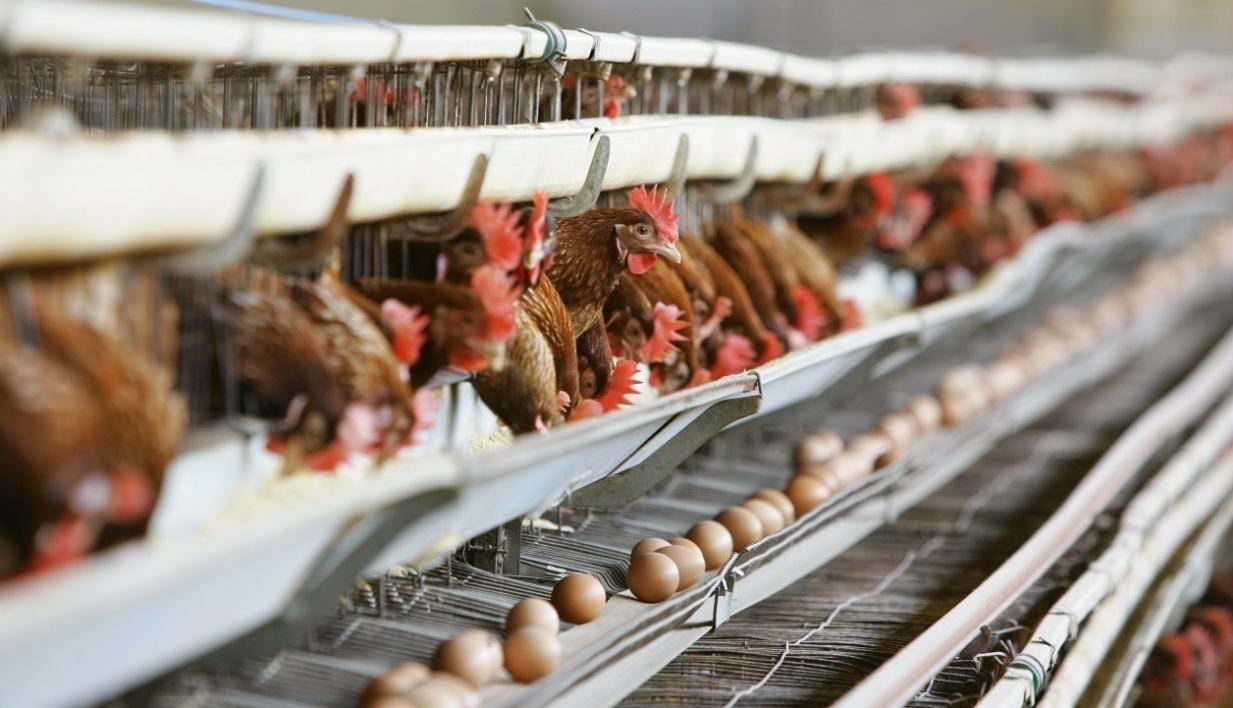 Monoprix ne commercialise plus d'oeufs de poules élevées en batterie