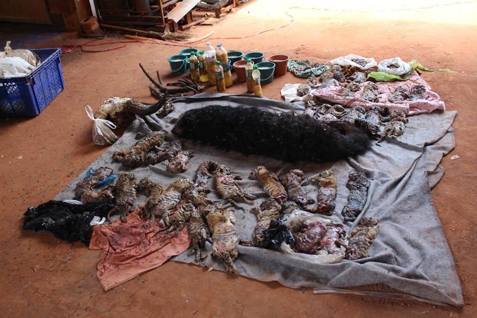Tigres de Thaïlande : découvertes macabres...