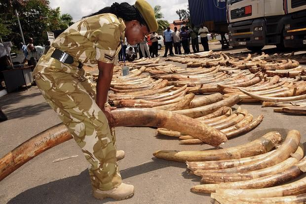 KRA Intercepts Ivory Worth Millions at Mombasa Port