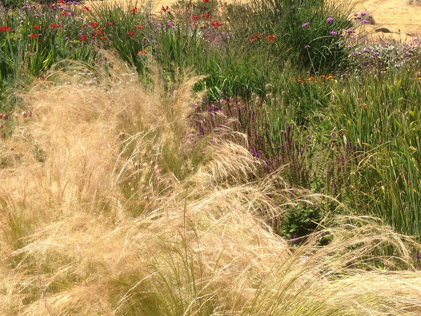 Les Stipa tenuissima ont une forte présence dans le jardin