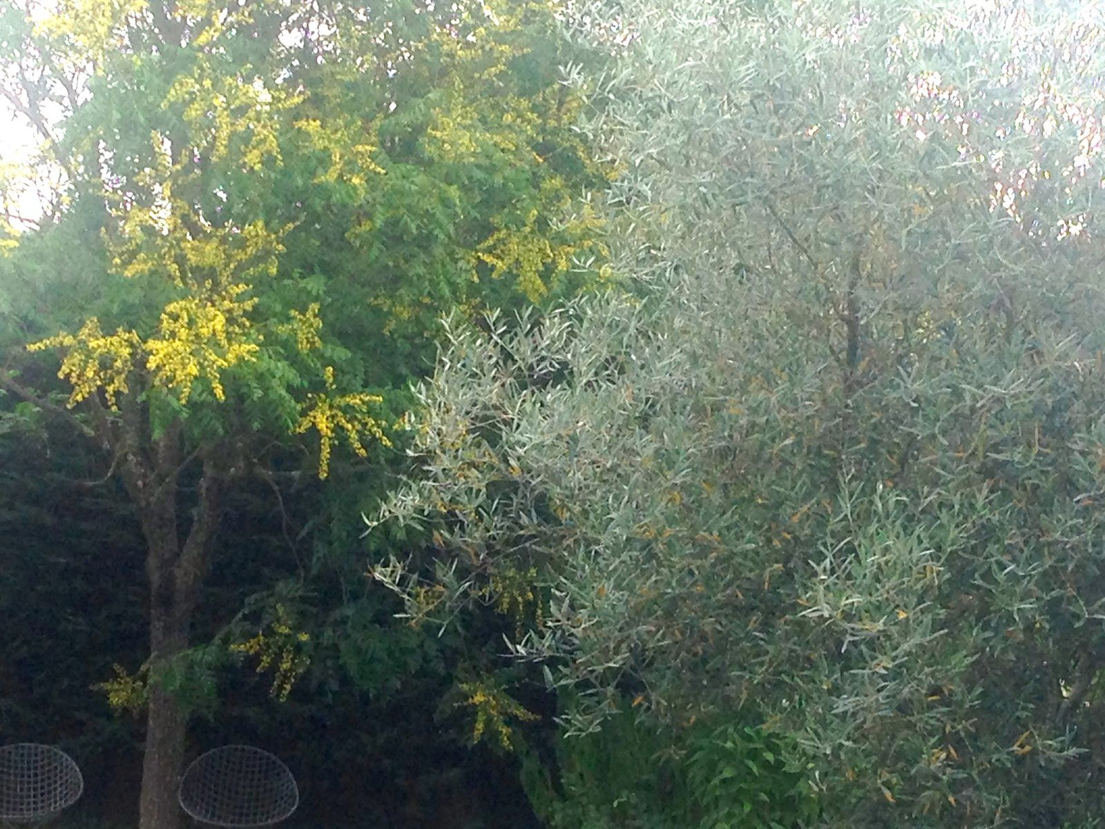 Olivier (Olea europaea) et Savonnier de Chine (Koelreuteria paniculata) - juillet