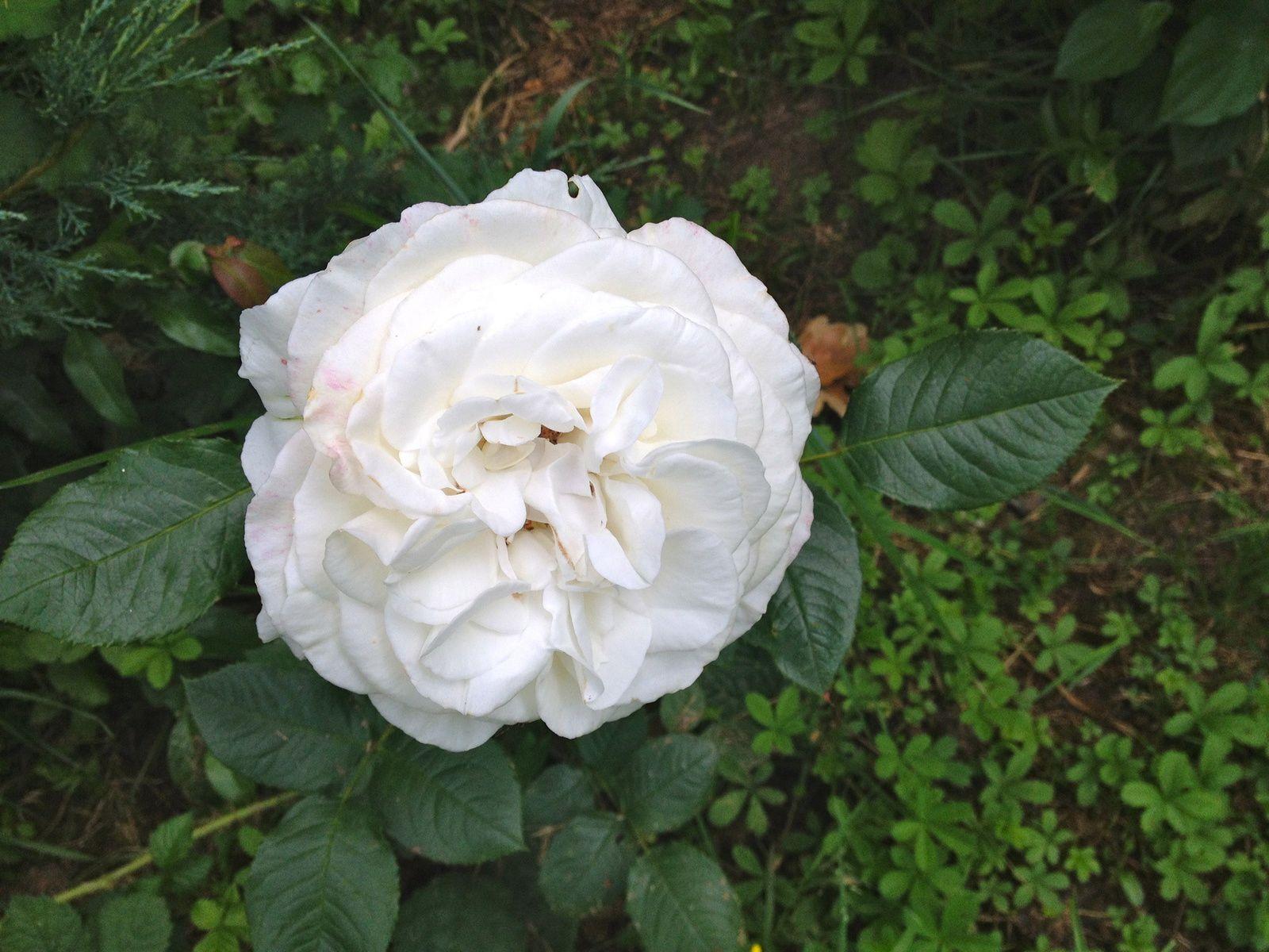 Rosier 'Anapurna' - juin, juillet