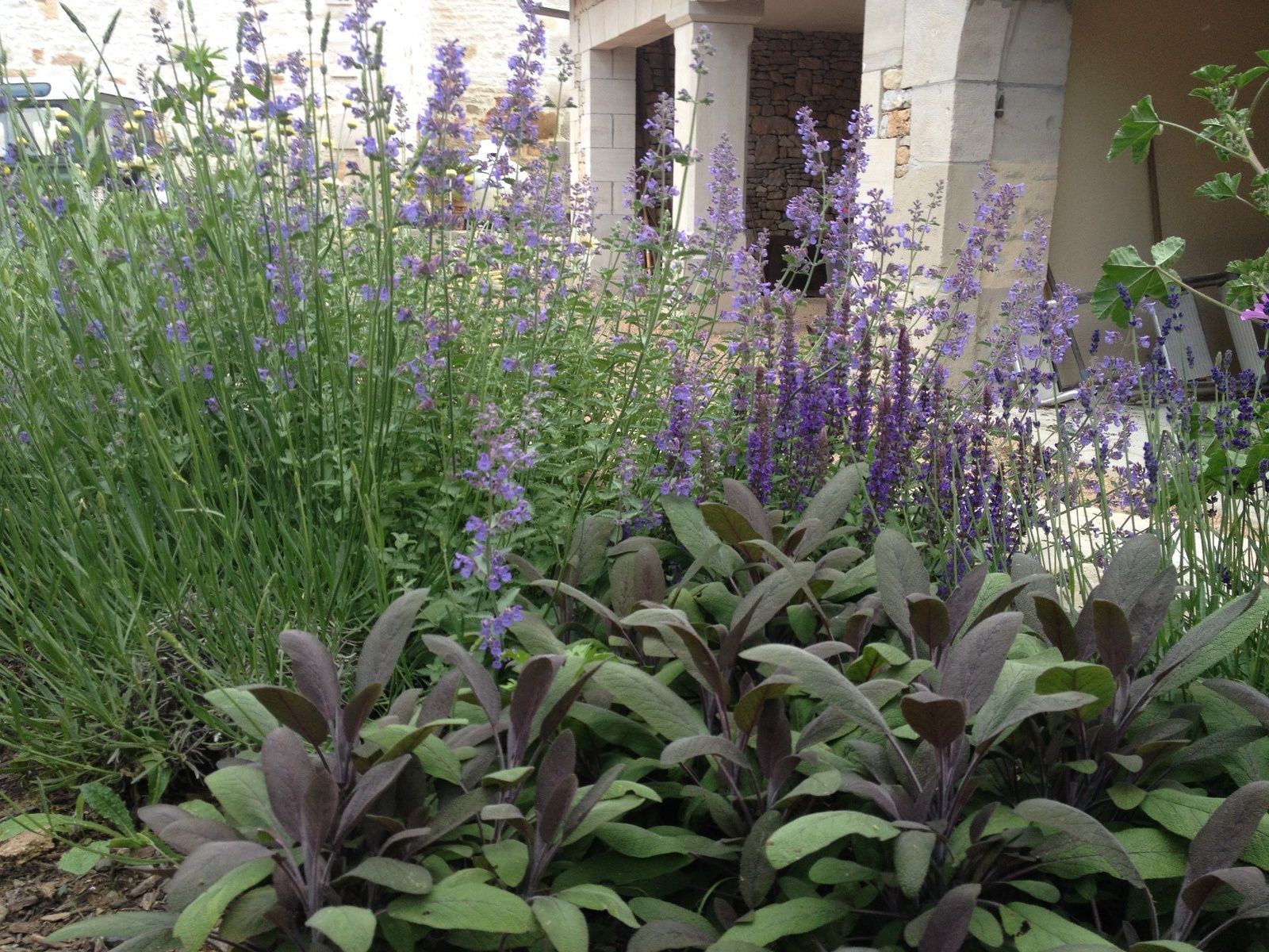 Salvia officinalis purpurascens au premier plan