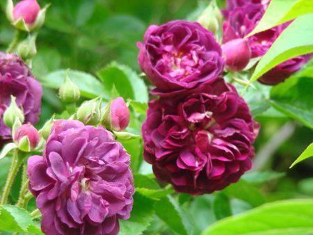 Encore et toujours des rosiers