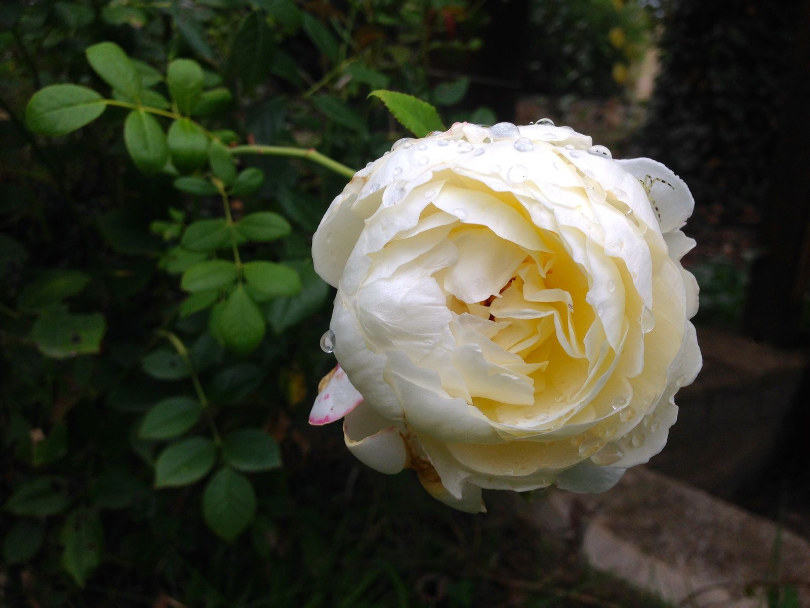 Rose 'Claire Austin' - photo du 15 sept