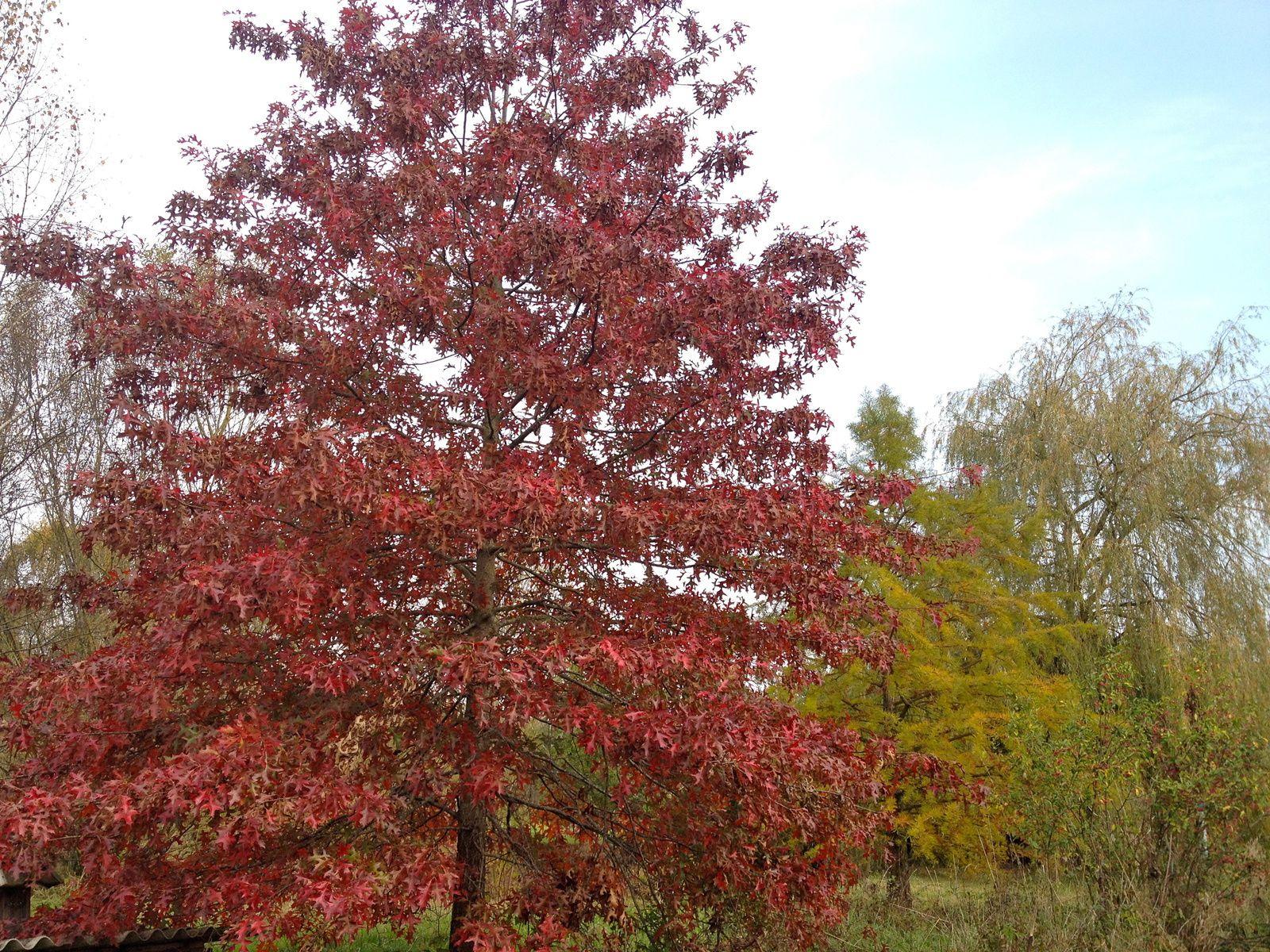 Chêne rouge des marais (Quercus palustris) - 3 novembre