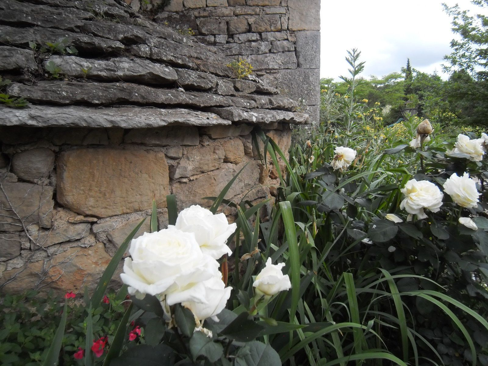 Roses 'Jeanne Moreau'