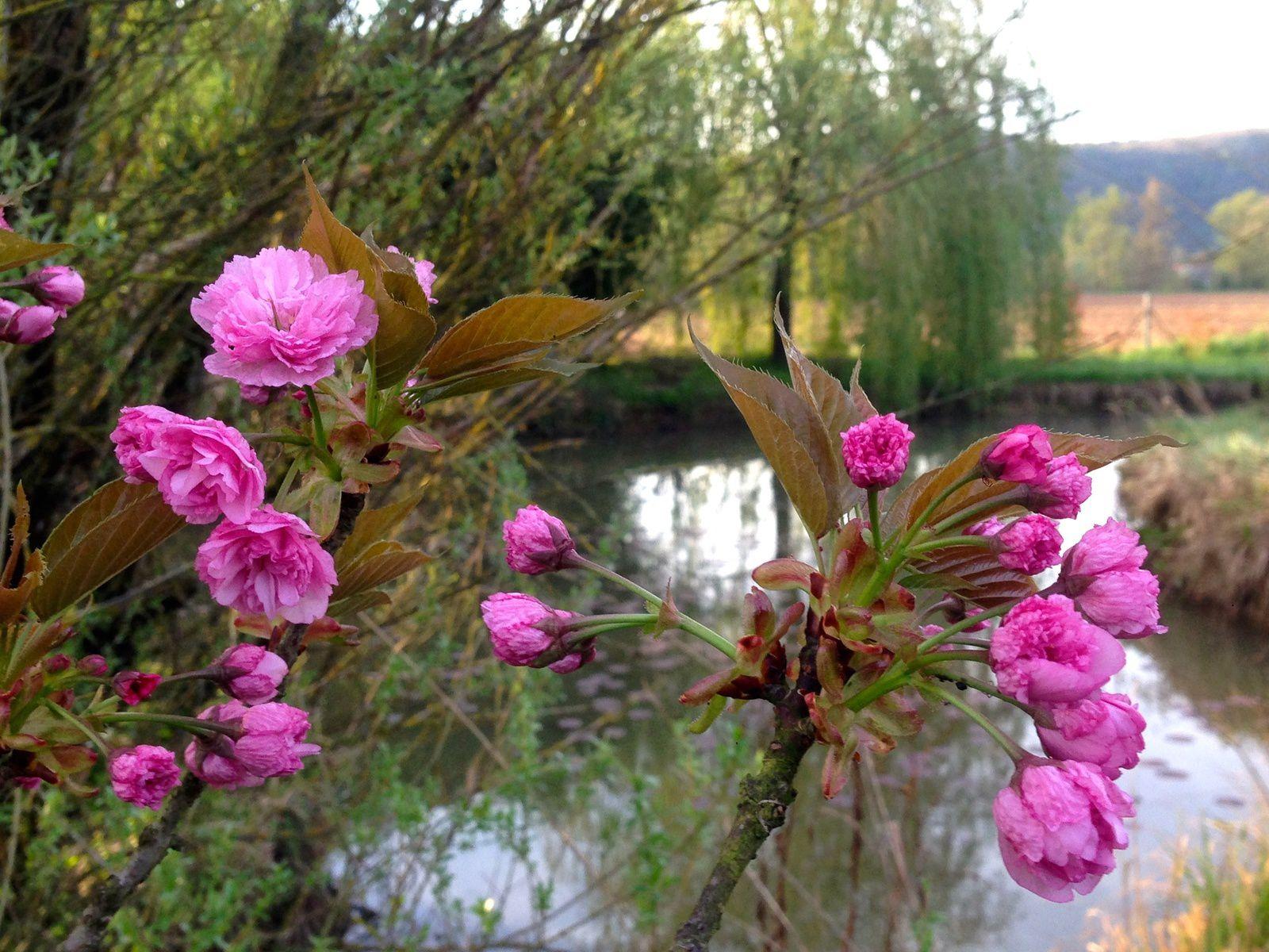 Prunus serrulata - avril