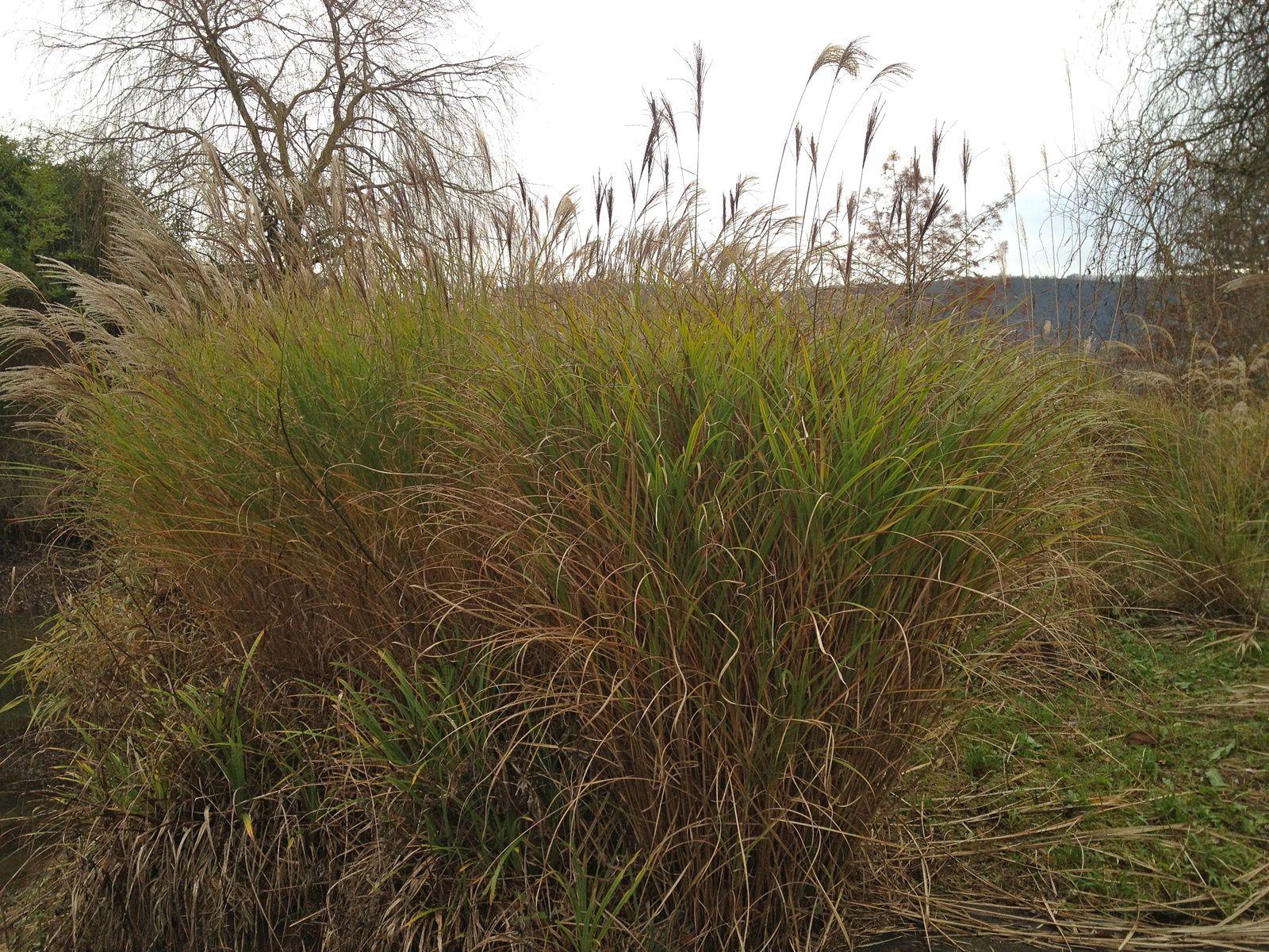 Miscanthus sinensis sur l'île.