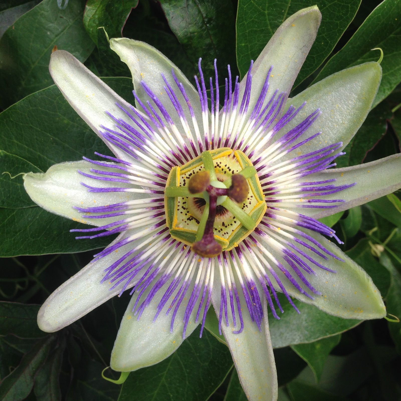 Passiflora caeruleae
