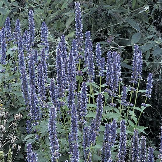 L'Agastache 'Blue Fortune'- photo empruntée à Christian