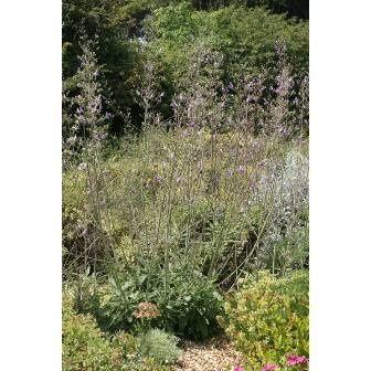 Salvia candelabrum - photo empruntée aux Senteurs du Quercy