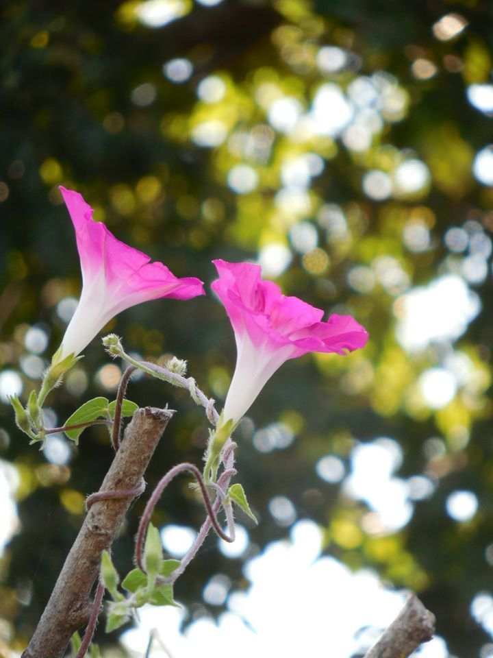 Ipomoea purpurea rose (photo empruntée à Katia)