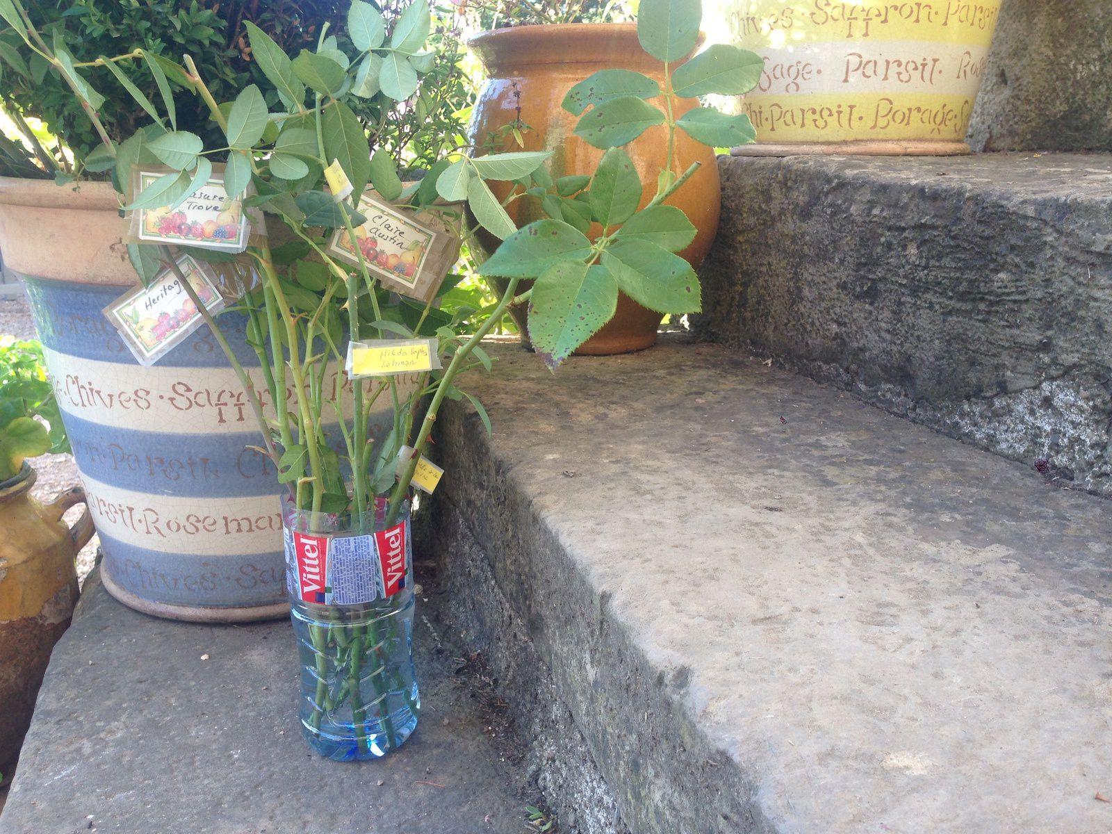 Boutures de rosiers à Frescati