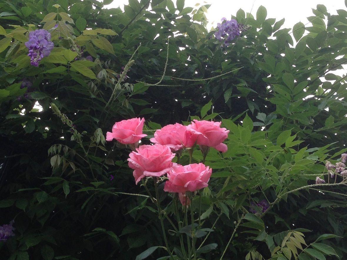 'Queen Elisabeth' et Glycine de Chine au Jardin de Frescati