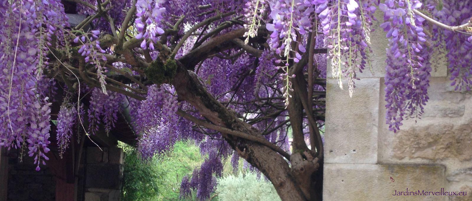 Glycine de Chine (wisteria sinensis)