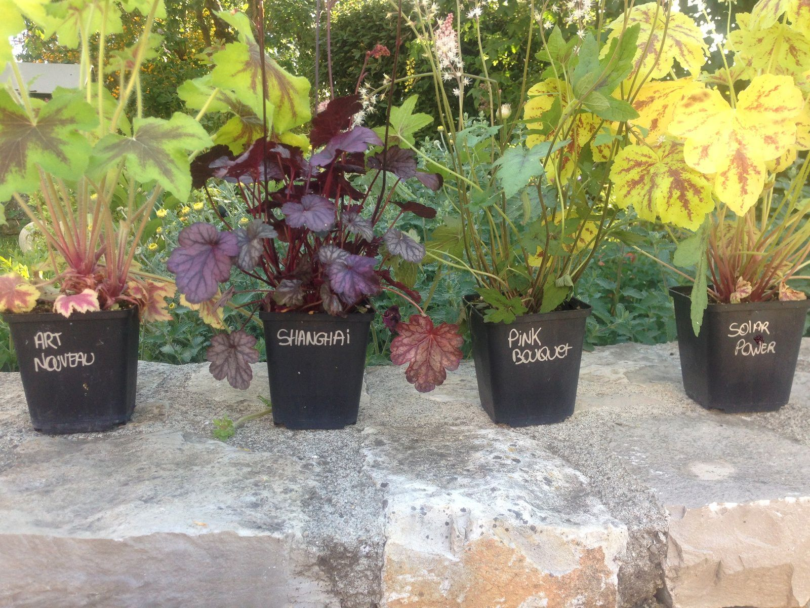 Heuchera 'Art nouveau', 'Shangai', 'Pink bouquet', 'Solar power'