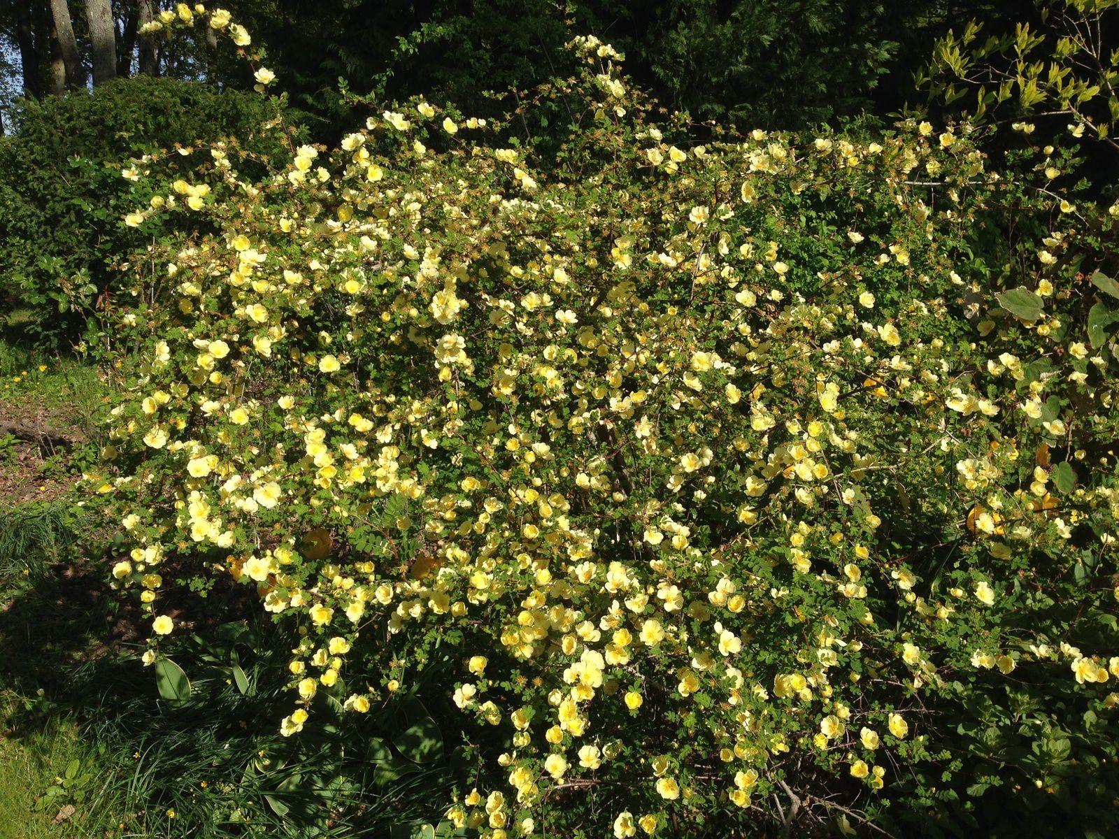 Rosier 'Springtime'