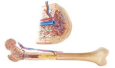 Nano Bone : un support pour la régénération osseuse