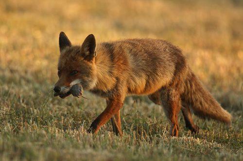 Le renard et sa proie