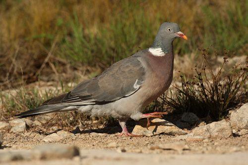 Pigeon ramier - la palombe