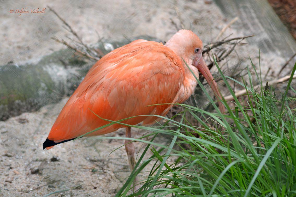 L'ibis royal qui se prend pour un flamand rose...