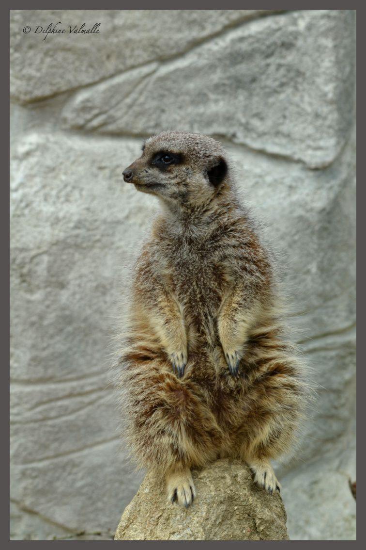 Le guetteur suricate... fidèle au poste