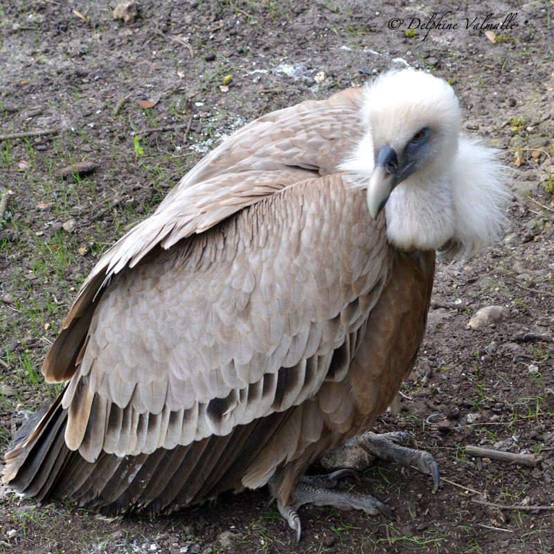 El condor pasa... ah non, c'est un vautour