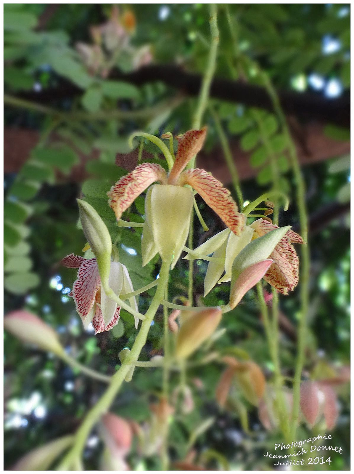 La fleur, aux pétales jaune-crème veinés de pourpre, ressemble à une orchidée.