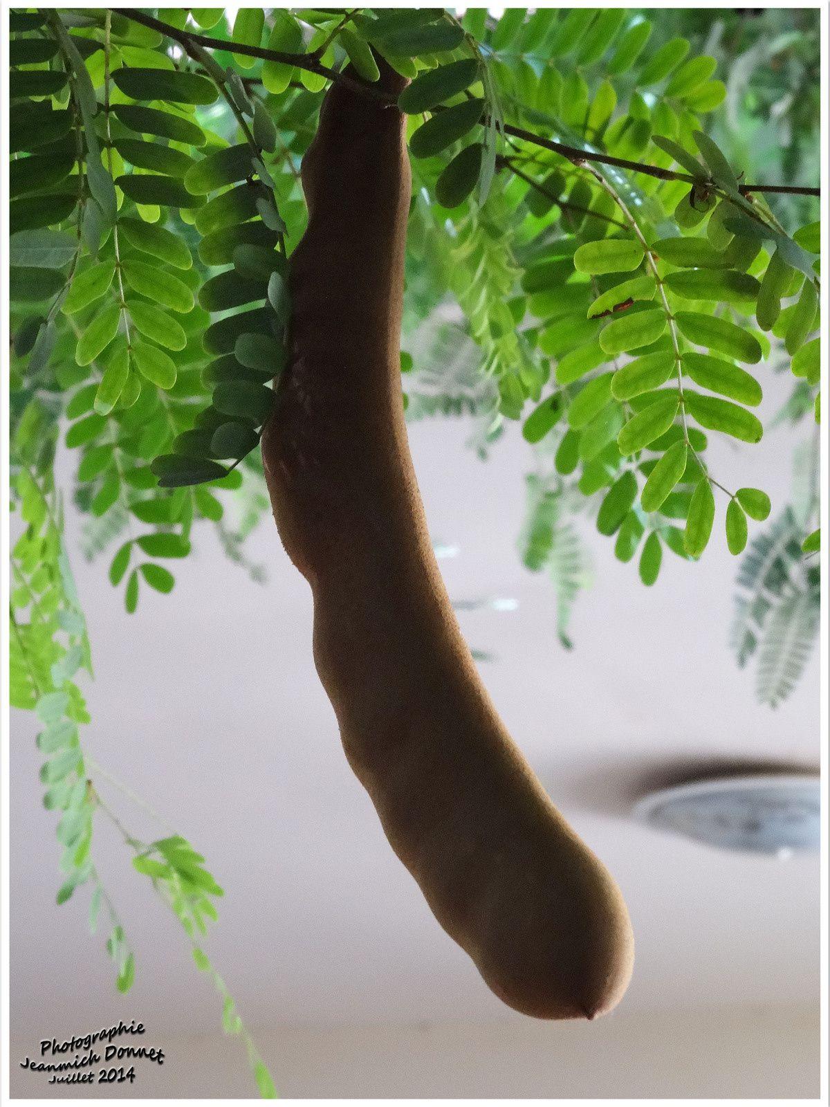 Tamarin, un fruit très sucré de Thailande