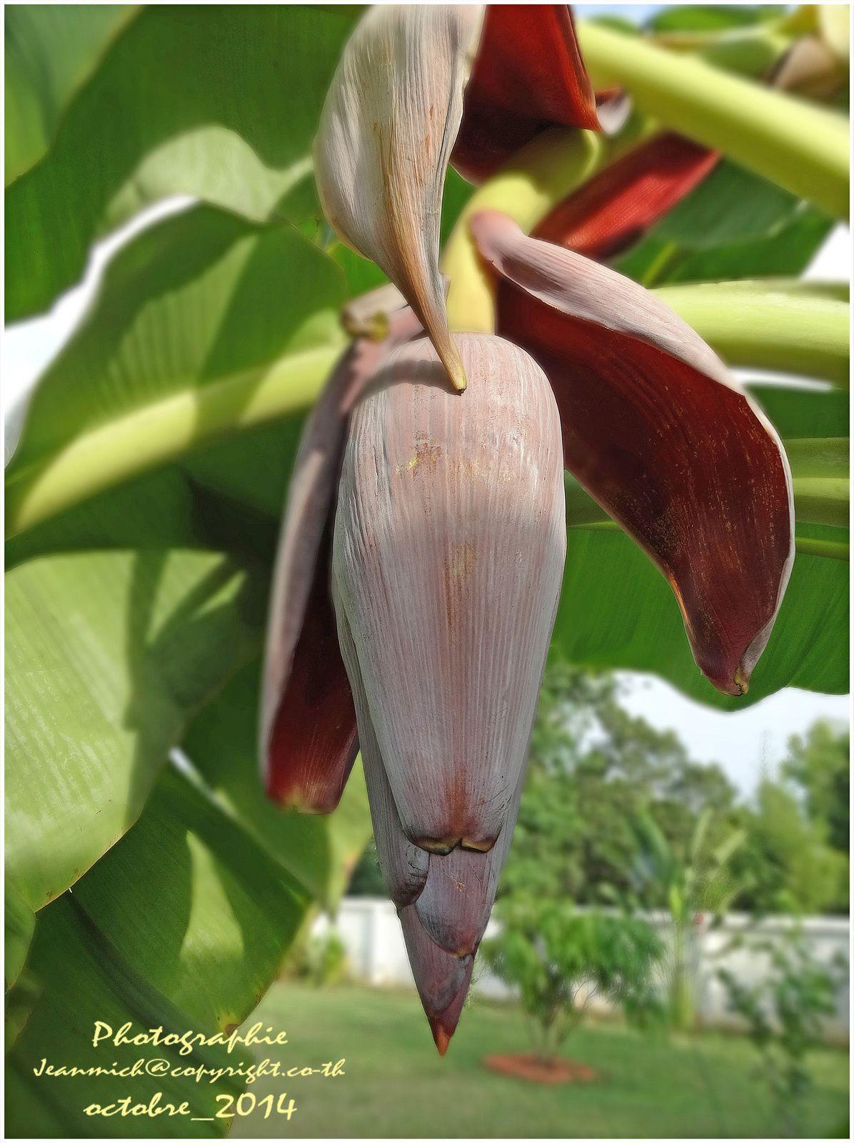 L'évolution d'une fleur de bananier (Thaïlande)