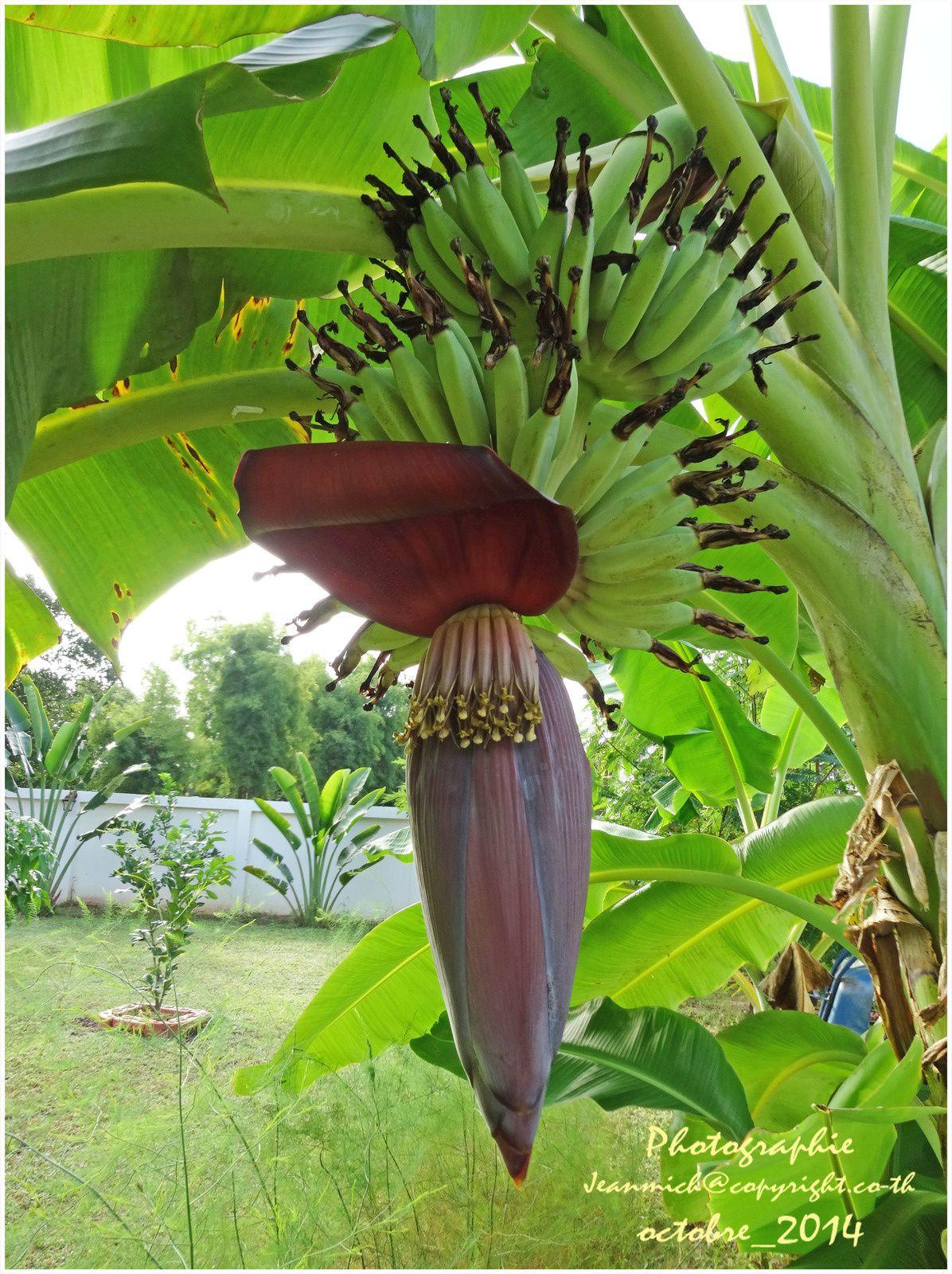 L 39 volution d 39 une fleur de bananier tha lande le blog - Faire pousser un bananier ...
