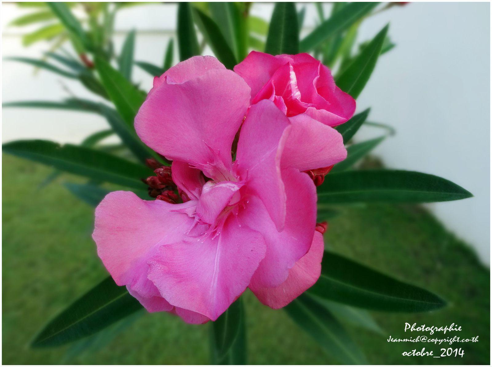 Fleurs le blog de khon kaen et de l 39 issan for Plante 6 mois
