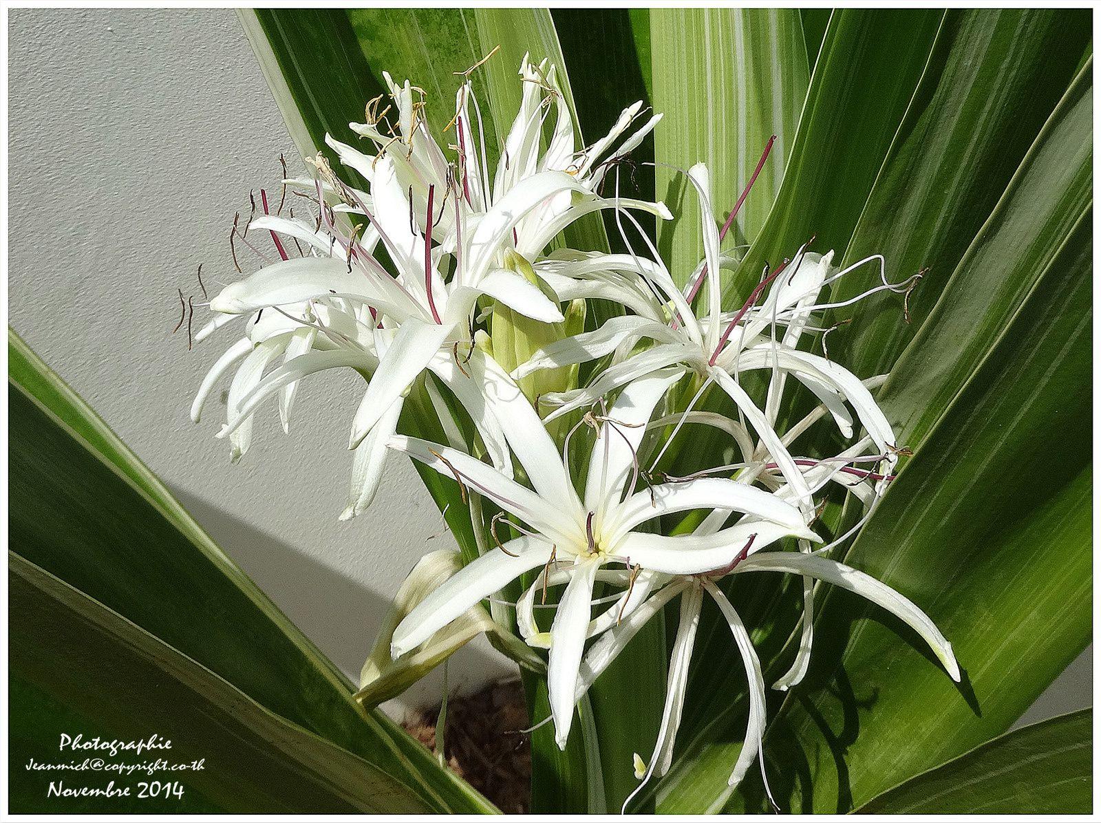 Lys du Bengale, magnifique plante en pleine floraison.