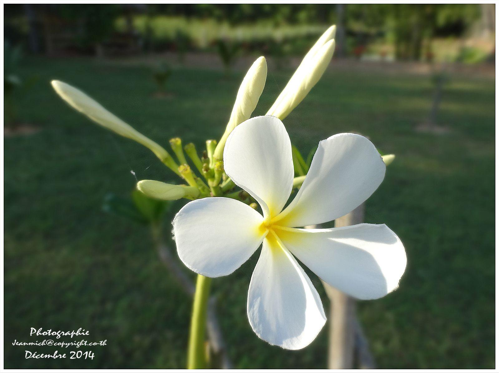 Les frangipaniers actuellement ont presque tout perdu leurs feuilles, cela ne les empêche pas de fleurir...