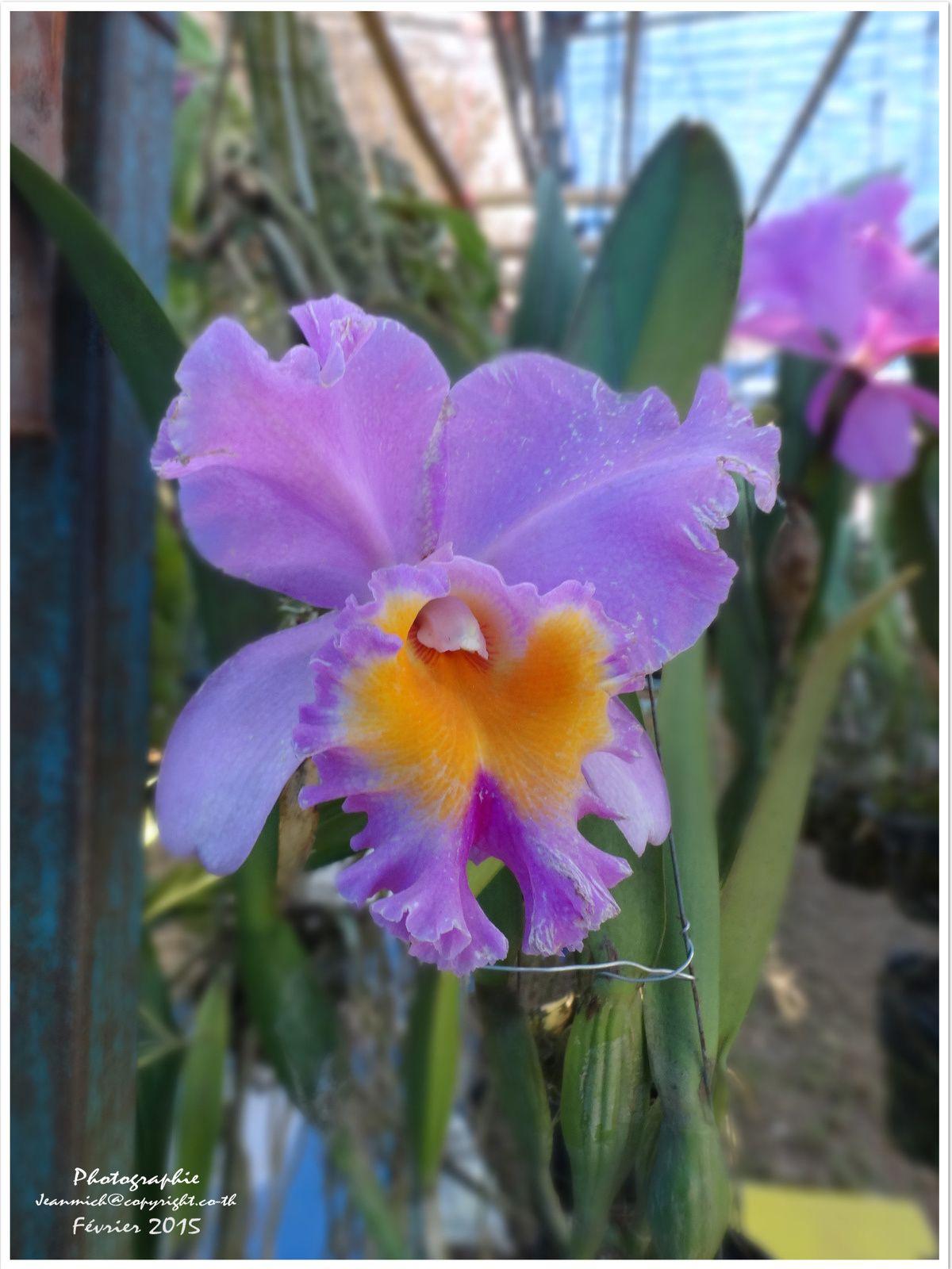 """La foire agricole de Khon Kaen """"les orchidées"""" (Thaïlande)"""