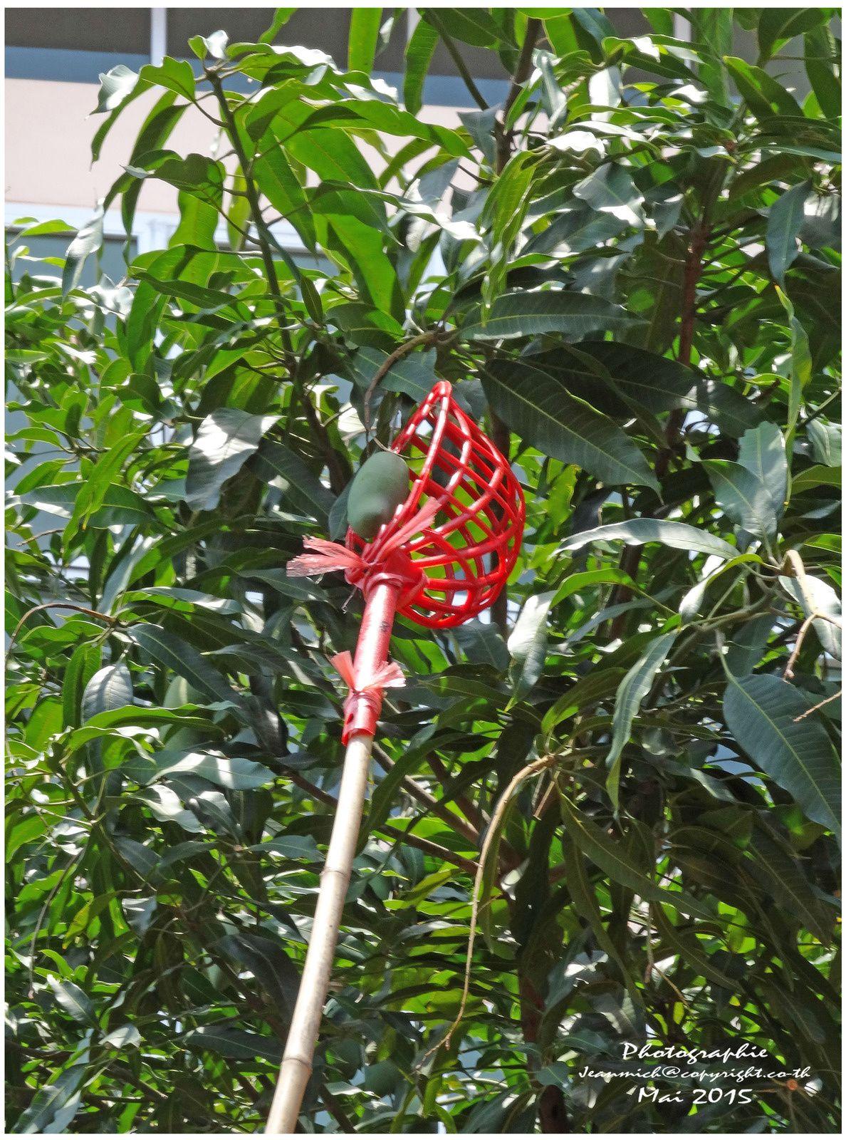 La récolte de nos mangues à Khon Kaen