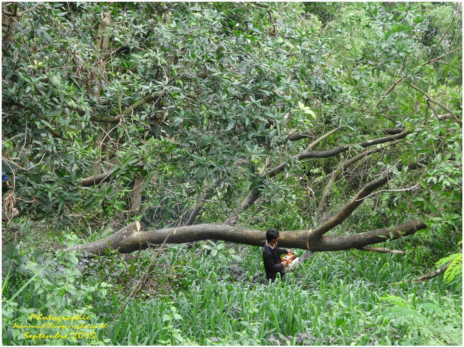 La mort des géants.... les arbres à fleurs de soie au tapis. (I)