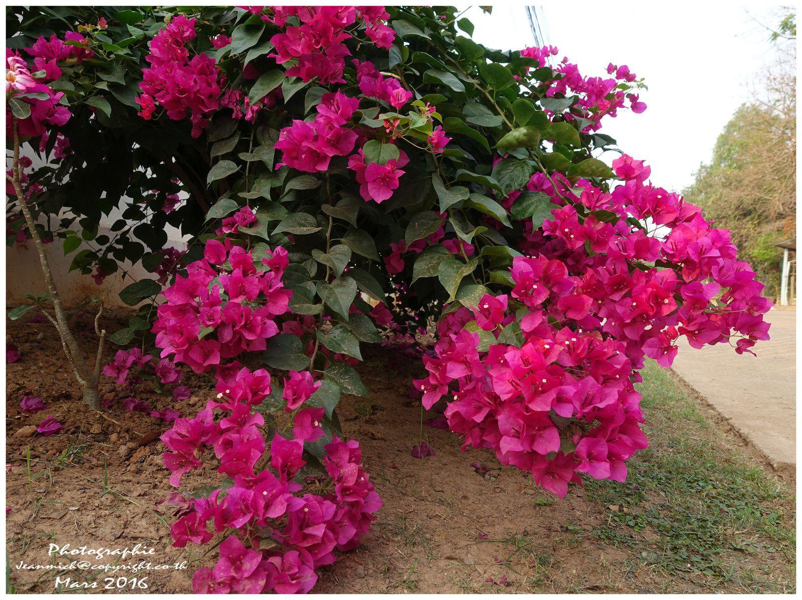 Les splendides floraisons des bougainvillées.