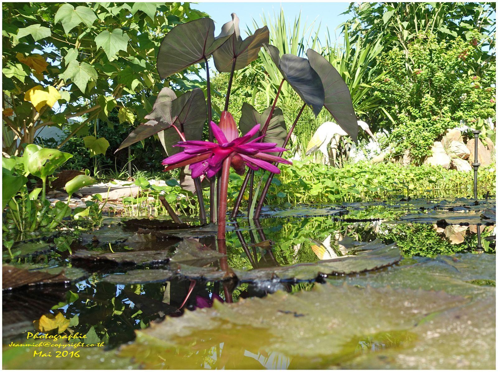 Petit tour au jardin en ce mois de juin..... (Thaïlande)
