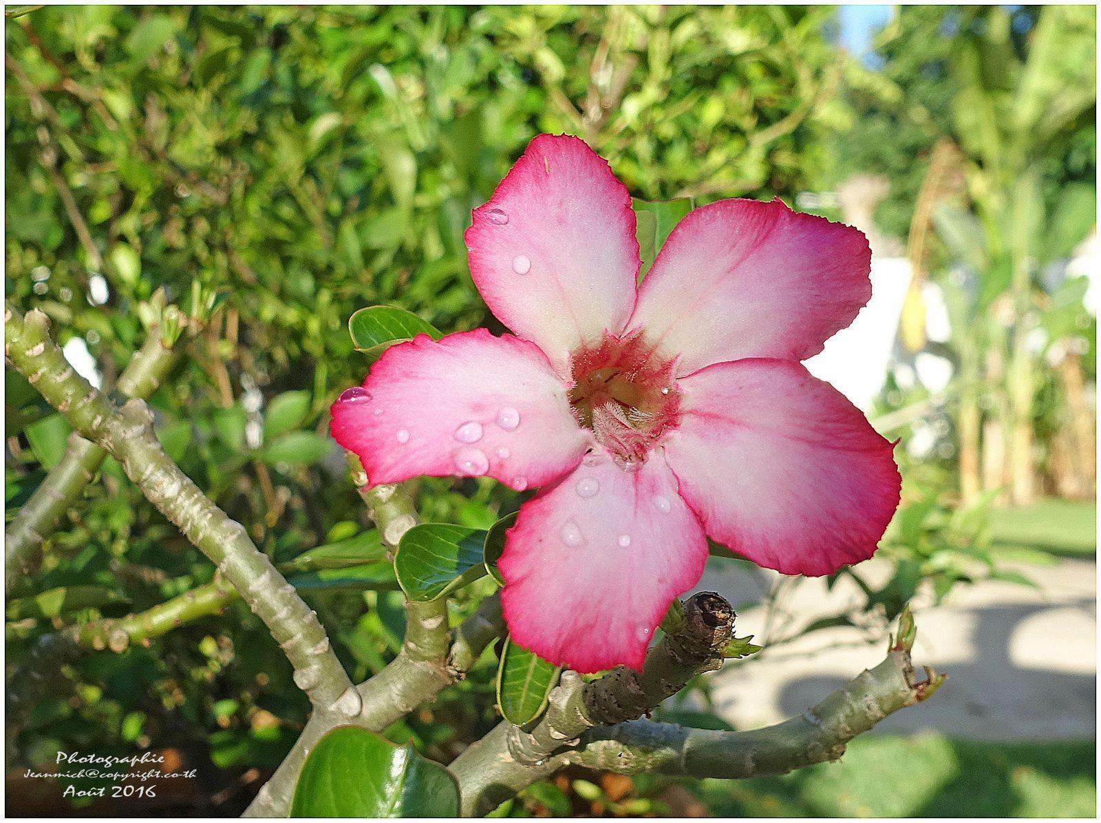 Notre jardin en ce mois d'août.... (Thaïlande Isaan)
