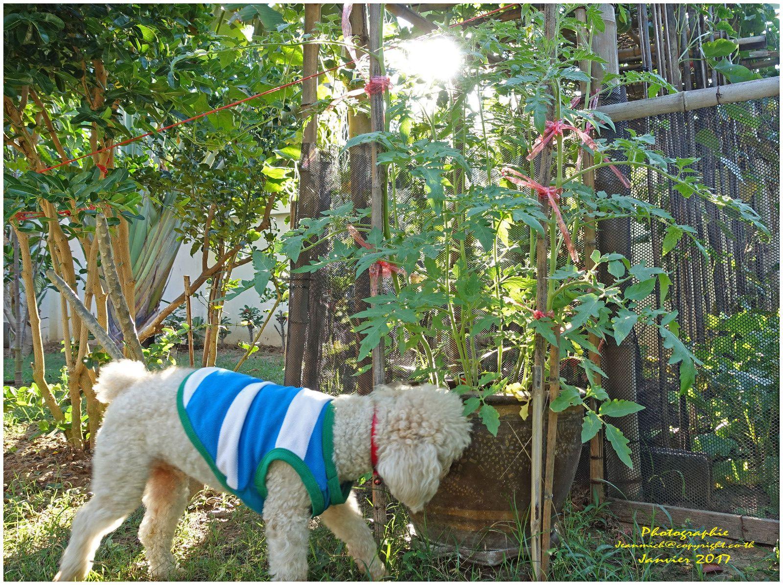 Même Filou qui a revêtu son manteau.... s'intéresse aux tomates..... faudra bien lâcher un fil contre le pot!!!!