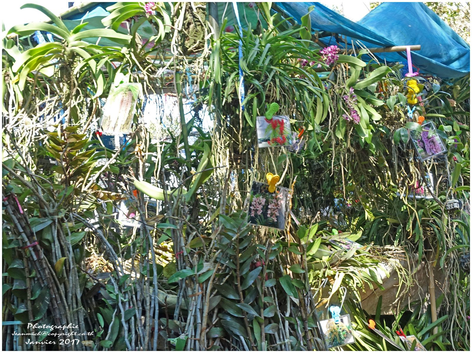 Foire agricole de Khon Kaen (Thaïlande) Les orchidées