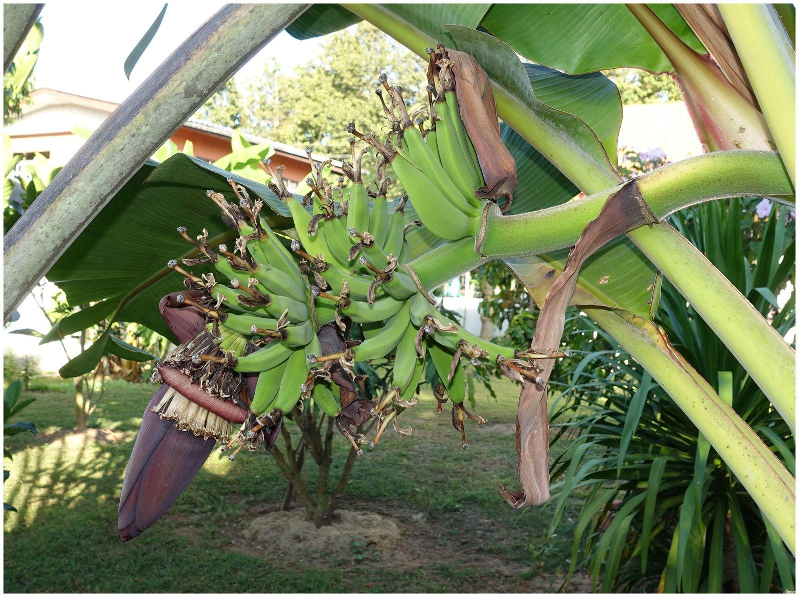 Les bananes en Thaïlande.....