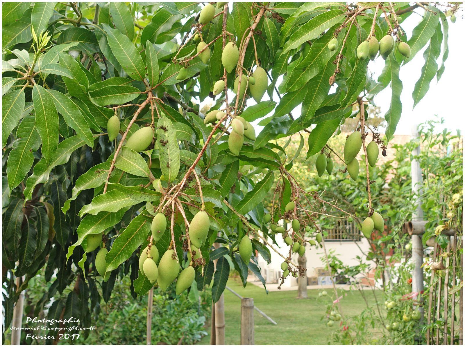 Petit tour au potager et dans les fruitiers en ce mois de février (Thaïlande)